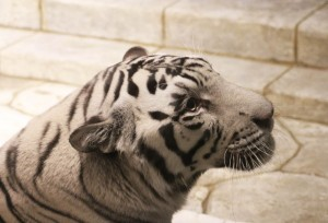 White Bengal Tiger in Houston