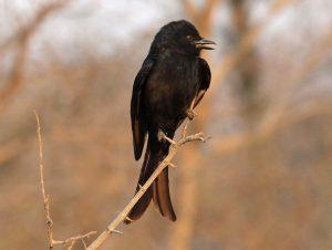 Fork-tailed drongo (Dicrurus adsimilis) Credit: Dick Daniels (https://carolinabirds.org)