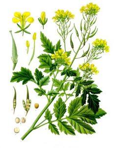 Sinapis alba or White Mustard Plant