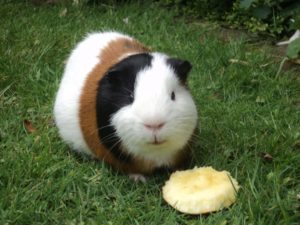Guinea Pig eating apple