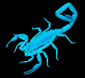 The striped bark scorpion glows under black light. (Ralph Arvesen)
