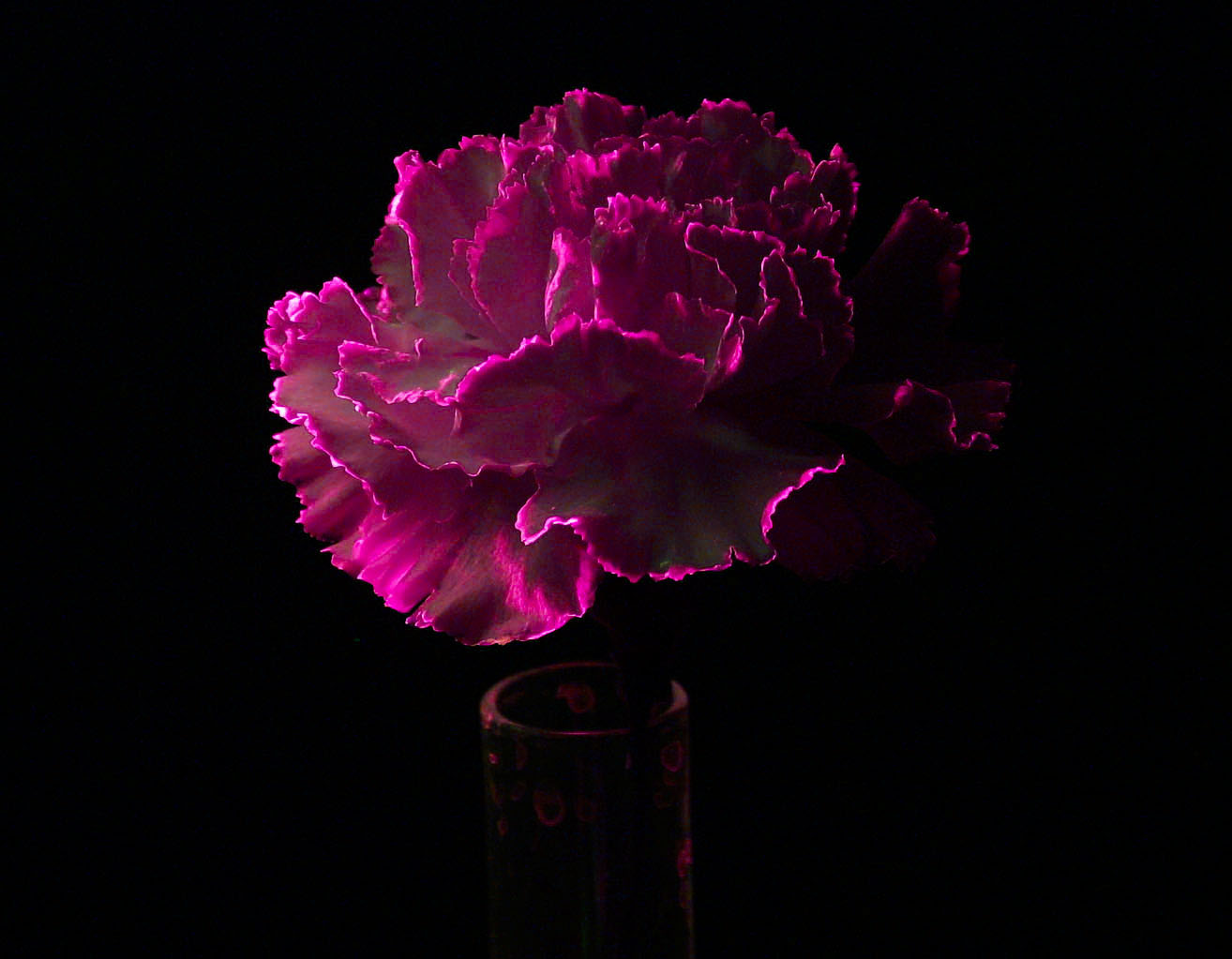 Glowing Pink Carnation