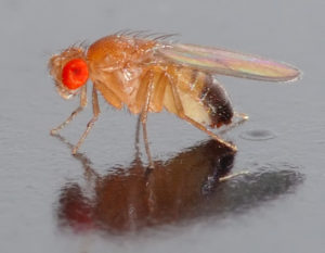 Fruit flies can detect chemicals from ripe and rotting fruit over long distances. (André Karwath)