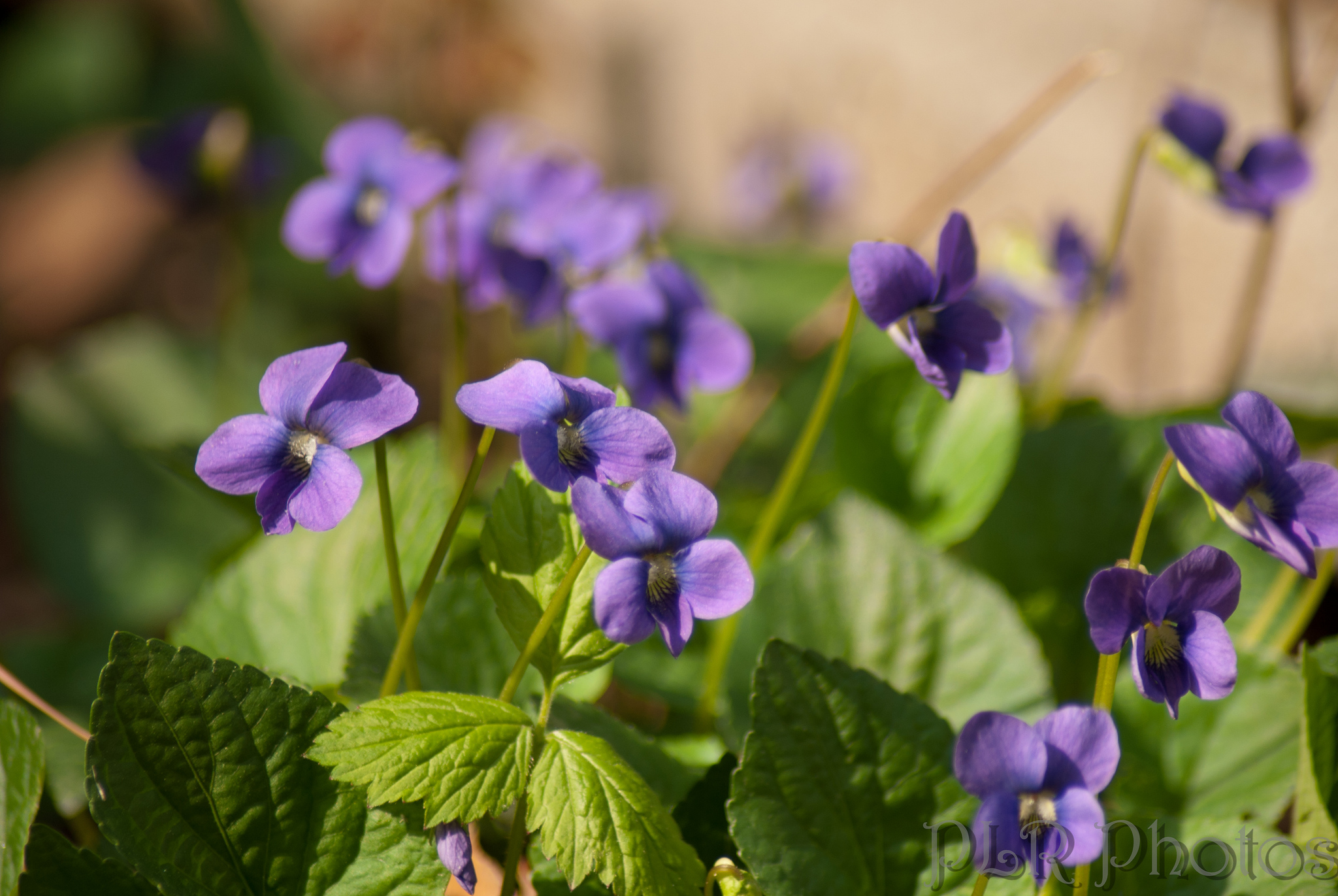 The color change violets project works because violets are natural pH indicators.  (Robert & Pat Rogers)