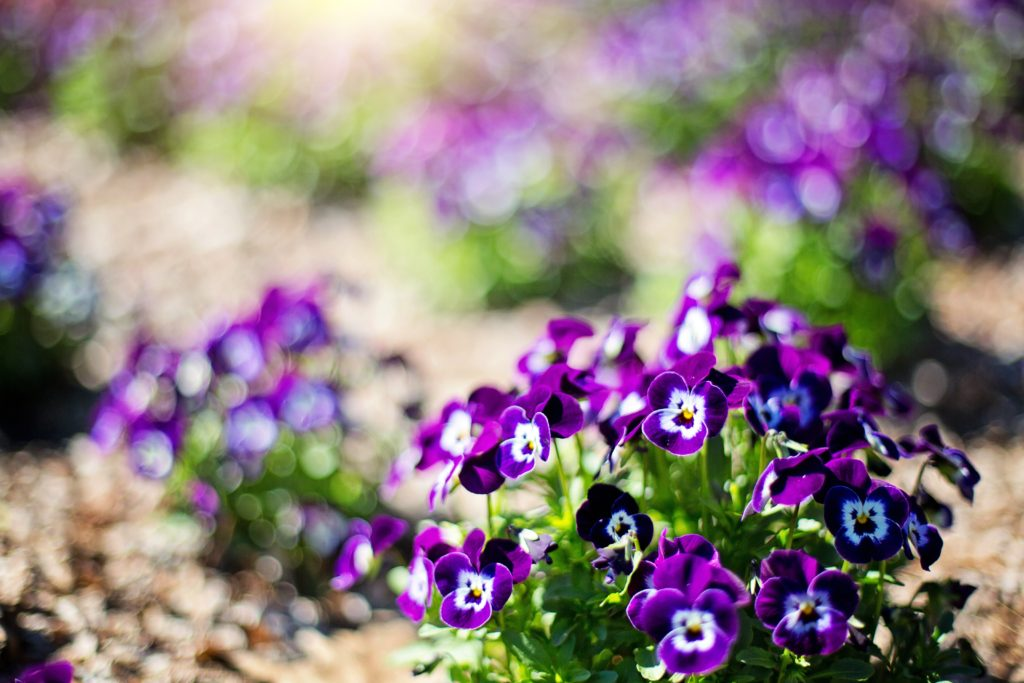 The color change violets project works because violets are natural pH indicators.