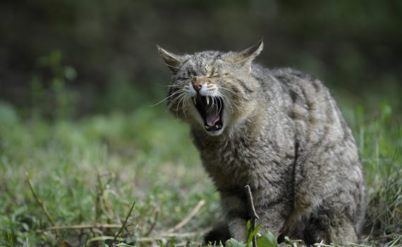 Cats and other vertebrate animals yawn. Cats can even catch yawns from people.