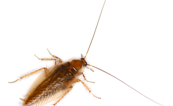 A cockroach survives radiation better than a human, but it's not immune to the heat of an atomic bomb. (Amada44)