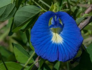 Clitoria ternatea (The Photographer, Wikimedia Commons)