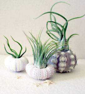 While air ferns are animals, there are true air plants. (robincharlotte)