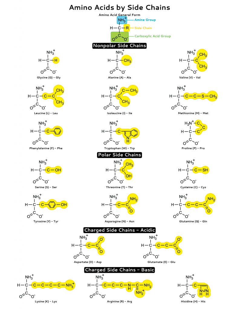 Amino Acids by Side Chains