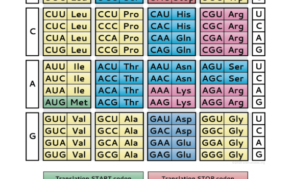 Genetic Code Study Sheet