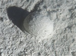 Gromia looks like a gray marble on the sea floor. (Mikhail Matz)