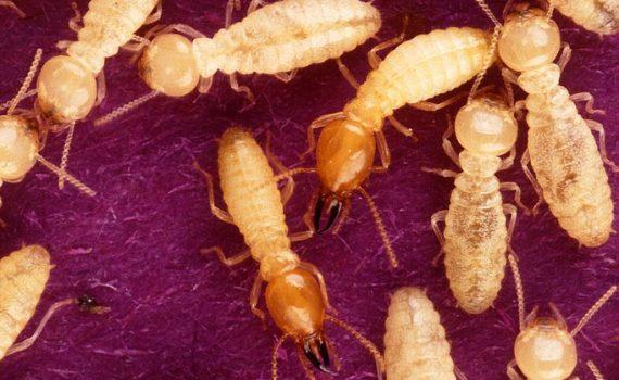 Termites (Scott Bauer, USDA ARS)