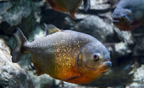 Piranha solution gets its name for its aggressive attack of organic material, like a school of piranha having a feeding frenzy.