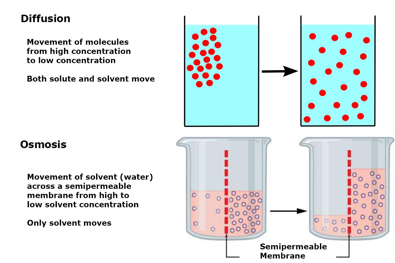 Osmosis Vs Diffusion