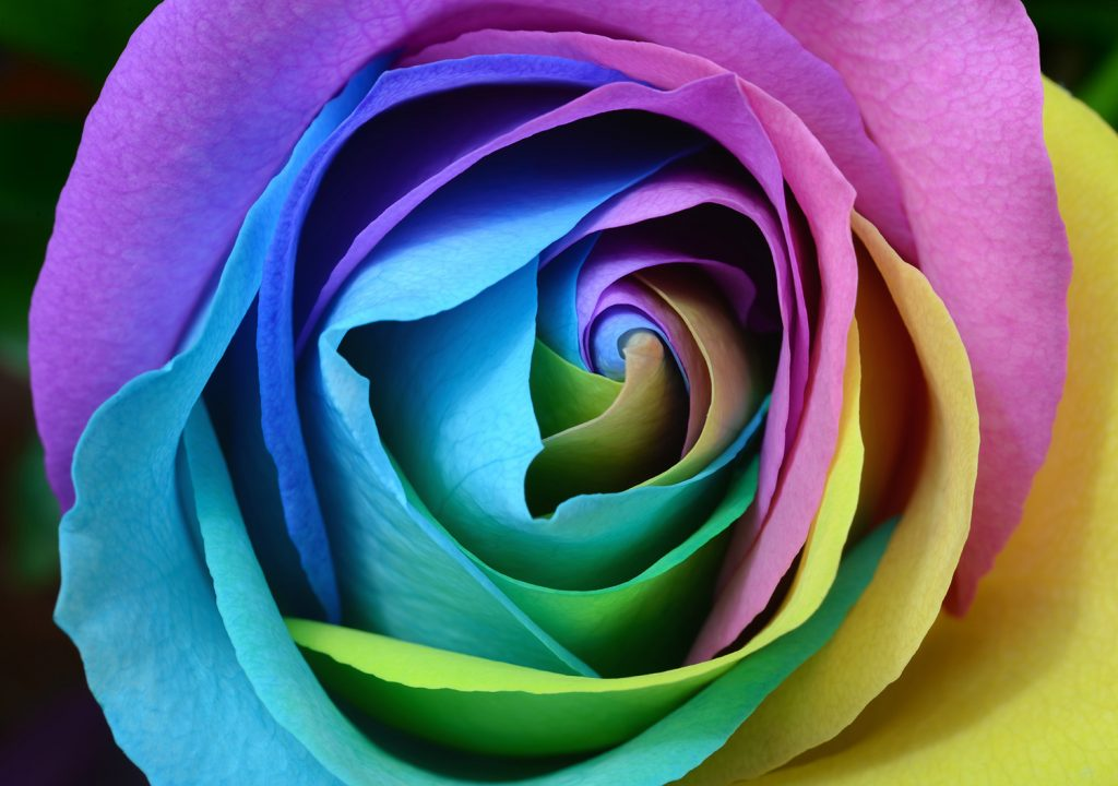 Make a rainbow rose by getting a white rose to absorb colored dyes.