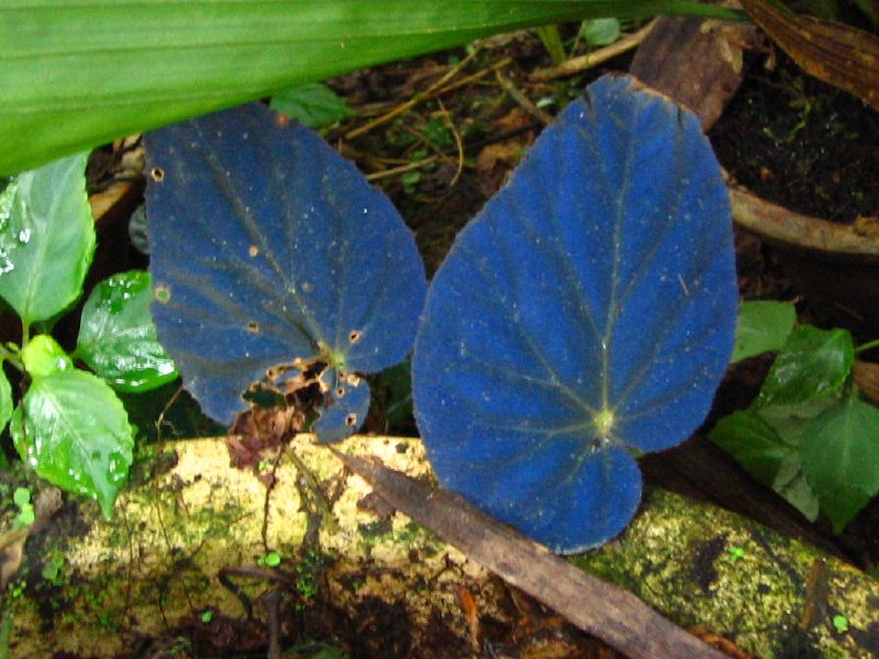 This begonia has iridescent blue leaves when grown in the shade.