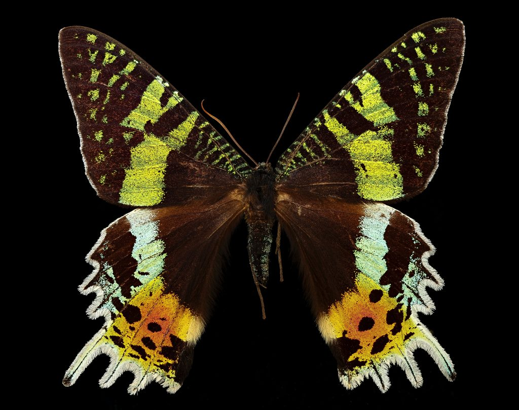 The Madagascar sunset moth has colorful wings like a butterfly, but feathery antennae of a moth.