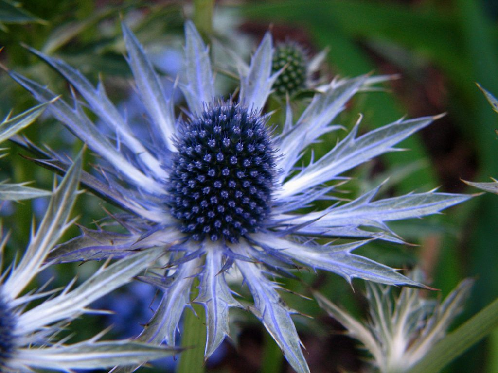 The blue sea holly is a common iridescent garden flower.