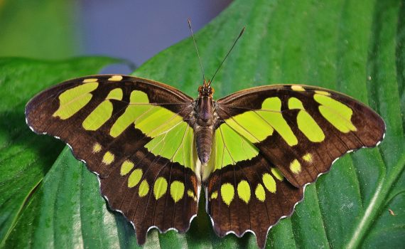You can tell this is a butterfly and not a moth by its colorful wings, clubbed antennae, and thin body.