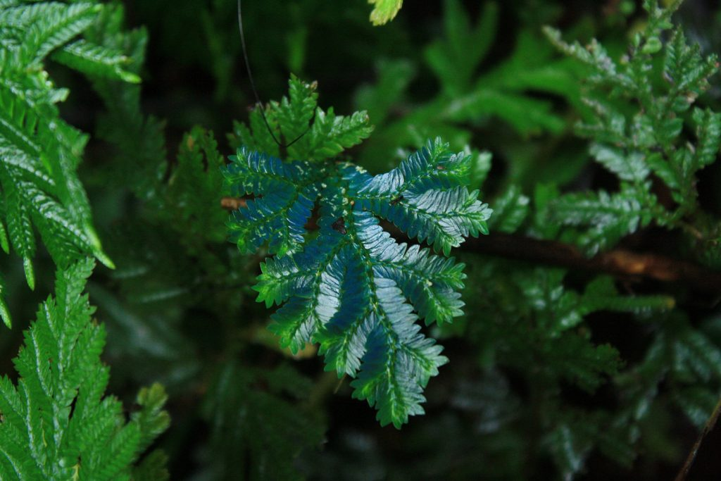 """Selaginella or """"peacock fern"""" is an iridescent plant with a turquoise blue shimmer."""