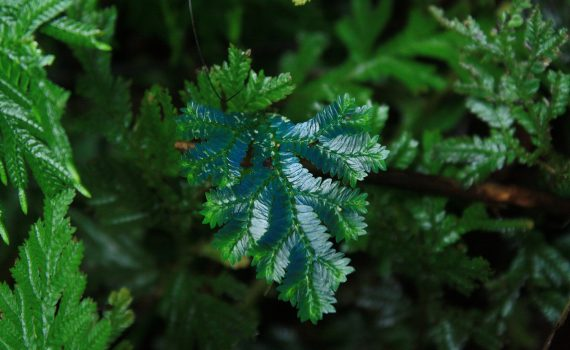 "Selaginella or ""peacock fern"" is an iridescent plant with a turquoise blue shimmer."