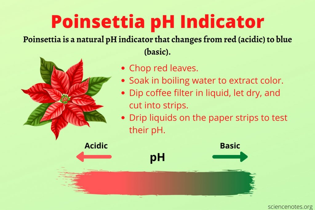 All you need is a red poinsettia and water to make poinsettia pH indicator.