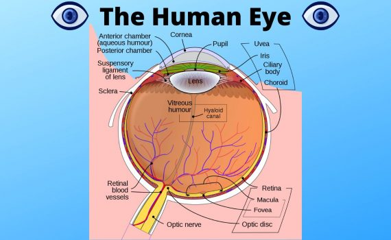 Diagram of the parts of the human eye