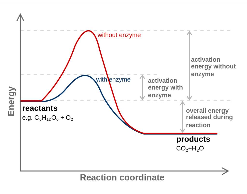 Activation Energy With Enzyme or Catalyst